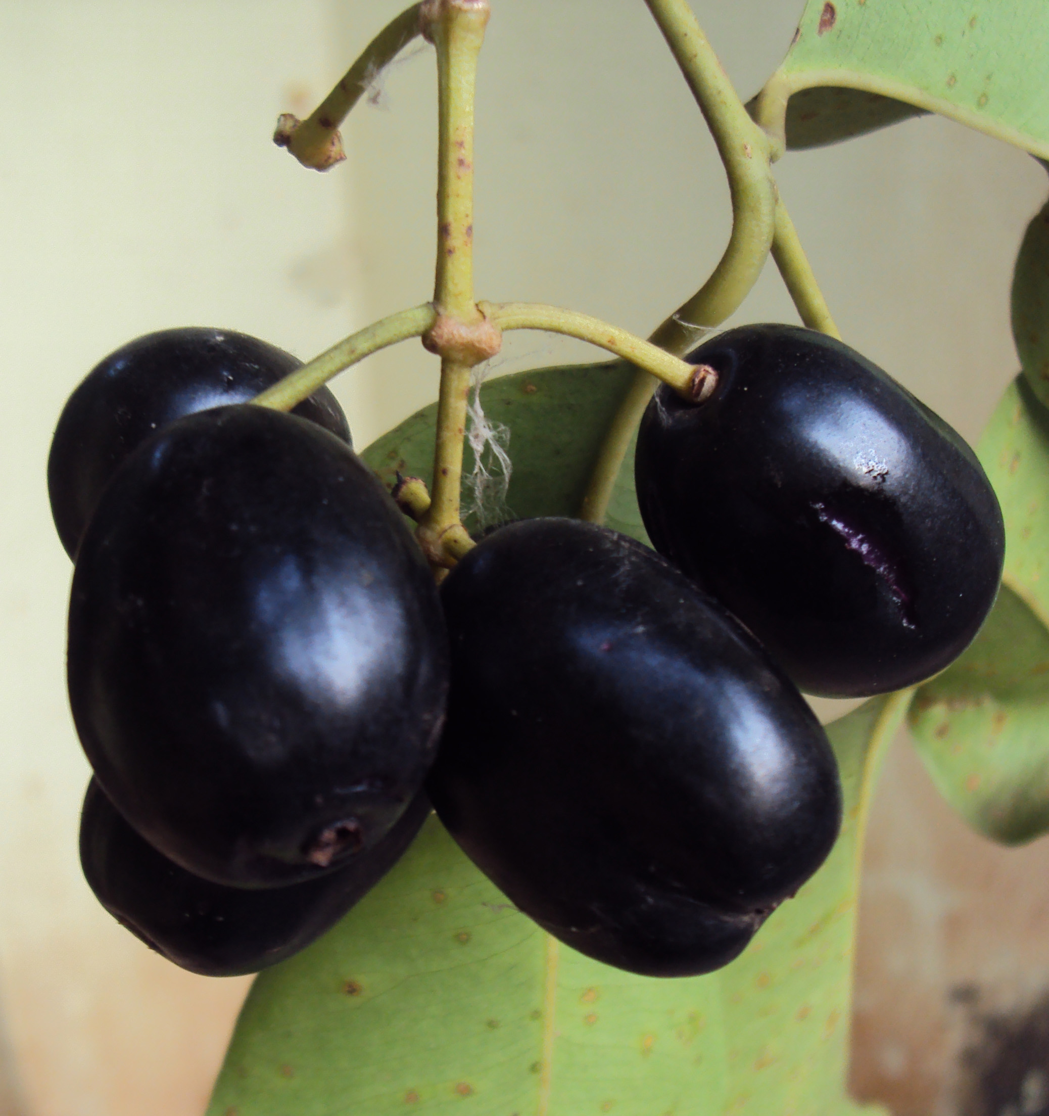health and beauty benefits of jamun